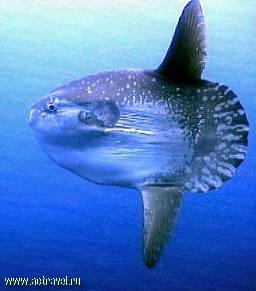 Представляем рыбу-луну.  Короткое, сжатое с двух сторон тело этой рыбы...
