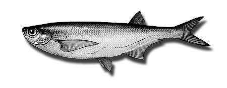 sabrefish