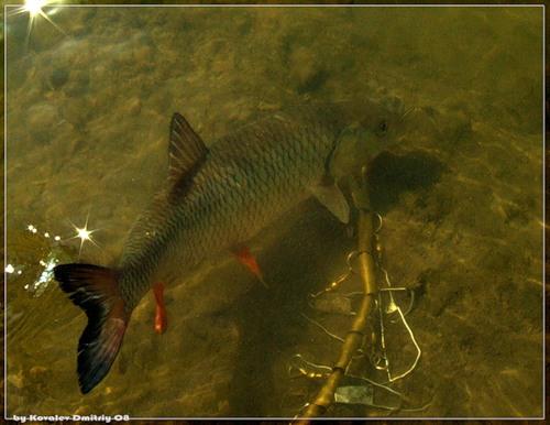 ловля голавля на малой воде