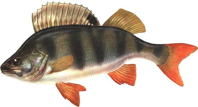 Сабанеев Рыбы России Жизнь И Ужение Пресноводных Рыб